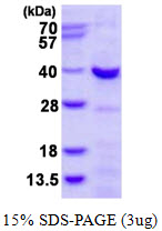 CHMP4A Protein