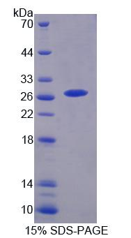 CHRNA3 Protein - Recombinant Cholinergic Receptor, Nicotinic, Alpha 3 By SDS-PAGE