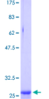 CLDN2 / Claudin 2 Protein - 12.5% SDS-PAGE Stained with Coomassie Blue.