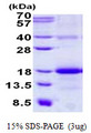 CLEC2B / AICL Protein