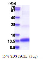 CLPS / Colipase Protein