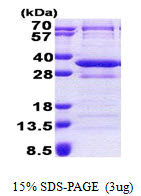 CNOT8 Protein