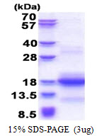 CNPY1 Protein