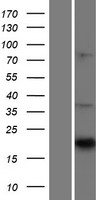 CNTF Protein - Western validation with an anti-DDK antibody * L: Control HEK293 lysate R: Over-expression lysate