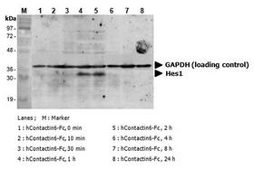 CNTN6 / Contactin 6 Protein - Induction of Hes-1 with the treatment of hContactin-6-Fc. A mouse preadpipocyte cell line, 3T3L1, was stimulated with 5 ug/ml of hContactin-6-Fc as in indicated time points and each cell lysate was prepared and subjected to western blot by using anti-mouse Hes1 or GAPDH.
