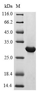 CRF2-12 / IL28RA Protein - (Tris-Glycine gel) Discontinuous SDS-PAGE (reduced) with 5% enrichment gel and 15% separation gel.