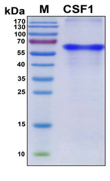 CSF1 / MCSF Protein - SDS-PAGE under reducing conditions and visualized by Coomassie blue staining