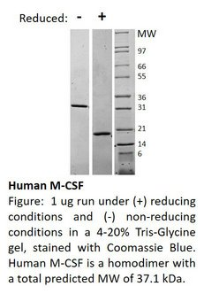 CSF1 / MCSF Protein