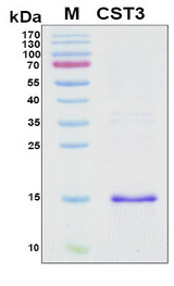 CST3 / Cystatin C Protein - SDS-PAGE under reducing conditions and visualized by Coomassie blue staining