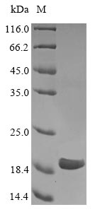CTAG1A + CTAG1B Protein - (Tris-Glycine gel) Discontinuous SDS-PAGE (reduced) with 5% enrichment gel and 15% separation gel.