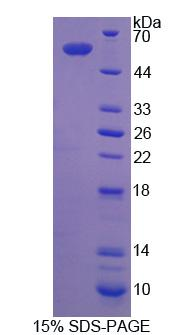 CTSG / Cathepsin G Protein - Recombinant Cathepsin G By SDS-PAGE