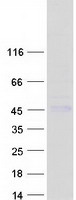 CTSH / Cathepsin H Protein - Purified recombinant protein CTSH was analyzed by SDS-PAGE gel and Coomassie Blue Staining