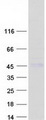 Purified recombinant protein CTSH was analyzed by SDS-PAGE gel and Coomassie Blue Staining