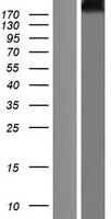 CUBN / Cubilin Protein - Western validation with an anti-DDK antibody * L: Control HEK293 lysate R: Over-expression lysate