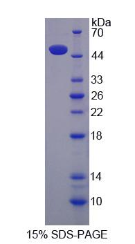 CUL9 / Cullin 9 Protein - Recombinant Cullin 9 By SDS-PAGE