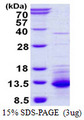 CXCL11 Protein