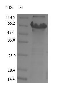 CYP11B2 / Aldosterone Synthase Protein - (Tris-Glycine gel) Discontinuous SDS-PAGE (reduced) with 5% enrichment gel and 15% separation gel.