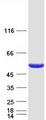 Purified recombinant protein DBT was analyzed by SDS-PAGE gel and Coomassie Blue Staining