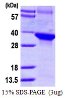 DCAF7 / WDR68 Protein