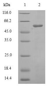 DHODH Protein - (Tris-Glycine gel) Discontinuous SDS-PAGE (reduced) with 5% enrichment gel and 15% separation gel.