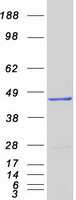 DHODH Protein - Purified recombinant protein DHODH was analyzed by SDS-PAGE gel and Coomassie Blue Staining