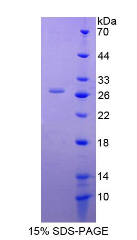 DNAJC12 Protein - Recombinant DnaJ/HSP40 Homolog Subfamily C, Member 12 By SDS-PAGE