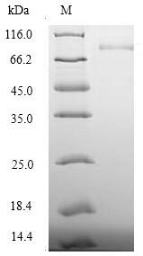 DSG3 / Desmoglein 3 Protein - (Tris-Glycine gel) Discontinuous SDS-PAGE (reduced) with 5% enrichment gel and 15% separation gel.