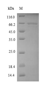 EEF1A1 Protein - (Tris-Glycine gel) Discontinuous SDS-PAGE (reduced) with 5% enrichment gel and 15% separation gel.