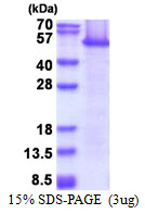 EEF1A1 Protein