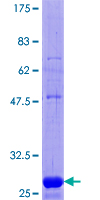 EHD3 Protein - 12.5% SDS-PAGE Stained with Coomassie Blue.