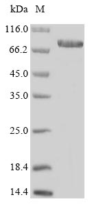 ENOX1 / CNOX Protein - (Tris-Glycine gel) Discontinuous SDS-PAGE (reduced) with 5% enrichment gel and 15% separation gel.