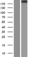 EP300 / p300 Protein - Western validation with an anti-DDK antibody * L: Control HEK293 lysate R: Over-expression lysate