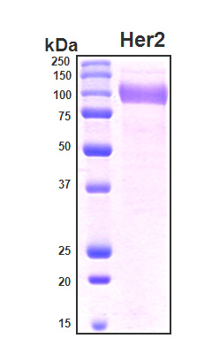 ERBB2 / HER2 Protein - SDS-PAGE under reducing conditions and visualized by Coomassie blue staining
