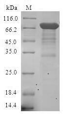 ESRRA / ERR Alpha Protein - (Tris-Glycine gel) Discontinuous SDS-PAGE (reduced) with 5% enrichment gel and 15% separation gel.
