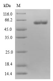 ETFA Protein - (Tris-Glycine gel) Discontinuous SDS-PAGE (reduced) with 5% enrichment gel and 15% separation gel.