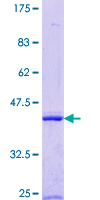 EXOG / ENDOGL1 Protein - 12.5% SDS-PAGE Stained with Coomassie Blue.