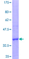 EXOSC7 Protein - 12.5% SDS-PAGE Stained with Coomassie Blue.