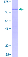 FAM129C Protein - 12.5% SDS-PAGE of human FAM129C stained with Coomassie Blue