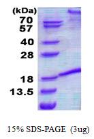 FASLG / Fas Ligand Protein