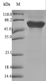 FGB / Fibrinogen Beta Chain Protein - (Tris-Glycine gel) Discontinuous SDS-PAGE (reduced) with 5% enrichment gel and 15% separation gel.
