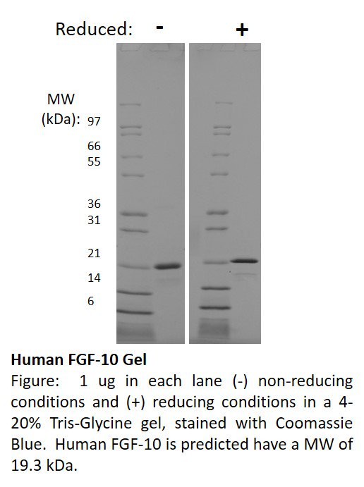 FGF10 Protein