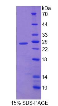 FGF12 Protein - Recombinant Fibroblast Growth Factor 12 By SDS-PAGE