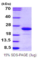 FGF12 Protein