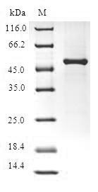 FGF14 Protein - (Tris-Glycine gel) Discontinuous SDS-PAGE (reduced) with 5% enrichment gel and 15% separation gel.