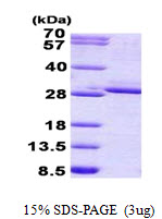 FGF17 Protein