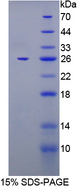 FKBP7 Protein - Recombinant  FK506 Binding Protein 7 By SDS-PAGE