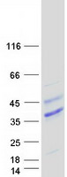 Purified recombinant protein FLT3LG was analyzed by SDS-PAGE gel and Coomassie Blue Staining