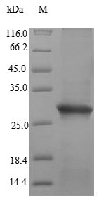 FR4 / Folate Receptor 4 Protein - (Tris-Glycine gel) Discontinuous SDS-PAGE (reduced) with 5% enrichment gel and 15% separation gel.