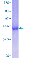 FUBP3 Protein - 12.5% SDS-PAGE Stained with Coomassie Blue.