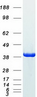 GAPDH Protein - Purified recombinant protein GAPDH was analyzed by SDS-PAGE gel and Coomassie Blue Staining